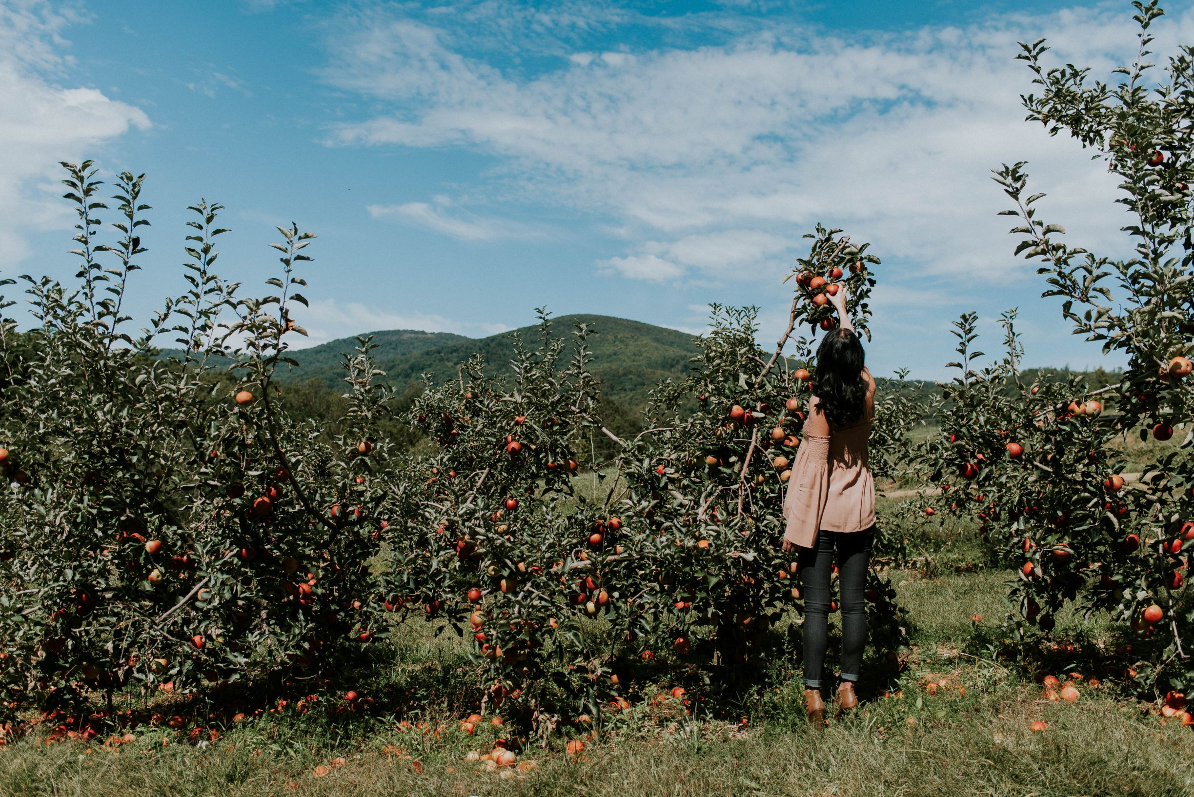 picking apples from apple orchard